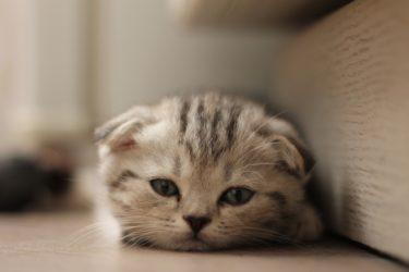 スコティッシュフォールドってどんな猫なの?生態や特徴、飼育時の注意点は?