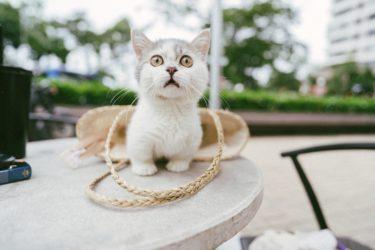 マンチカンってどんな猫なの?生態や特徴、飼育時の注意点は?