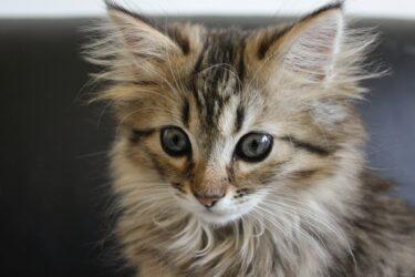 ノルウェージャンフォレストキャットってどんな猫なの?生態や特徴、飼育時の注意点は?
