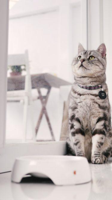 アメリカンショートヘアってどんな猫なの?生態や特徴、飼育時の注意点は?
