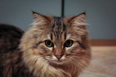 メインクーンってどんな猫なの?生態や特徴、飼育時の注意点は?