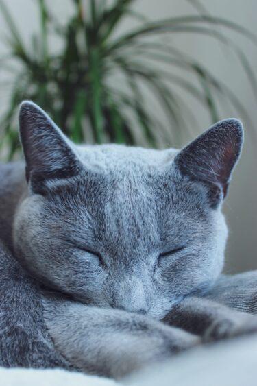 ロシアンブルーってどんな猫なの?生態や特徴、飼育時の注意点は?