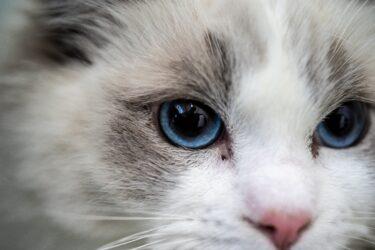 ラグドールってどんな猫なの?生態や特徴、飼育時の注意点は?