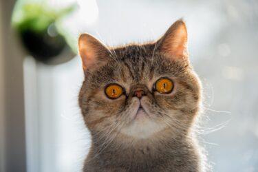 ペルシャってどんな猫なの?生態や特徴、飼育時の注意点は?